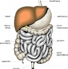 消化器官的医学图剪贴画
