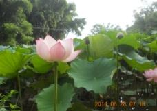 莲花  荷图片